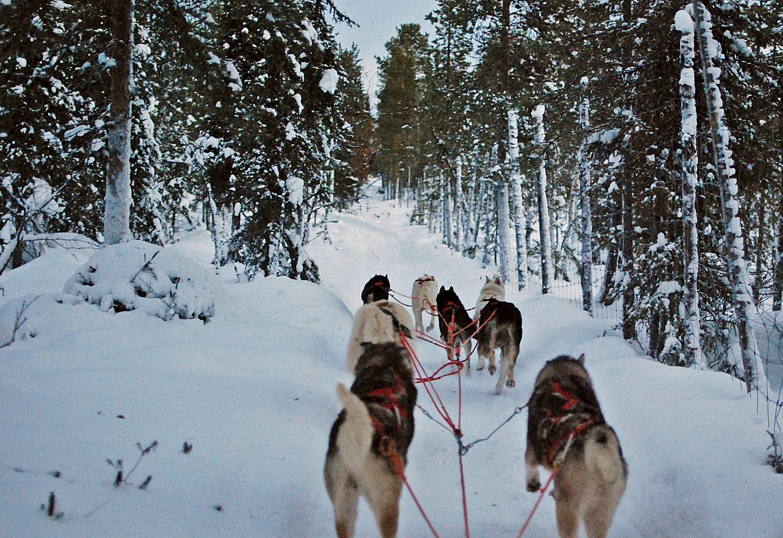 Lapland Huskies