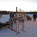 Lapland Reindeer Farm